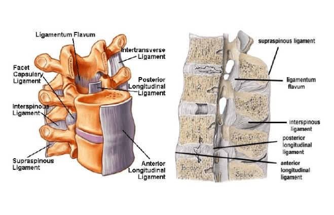 Ligametum flavum
