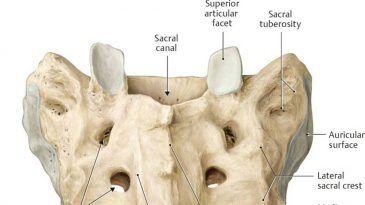 Sacral Bone Pain – Causes, Treatment, and Anatomy of Sacrum